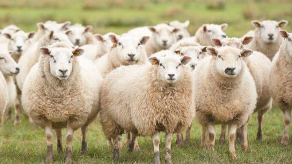 Mộng mị thấy con cừu đánh con số đề nào