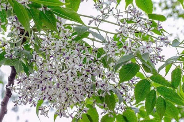 Nằm mơ thấy hoa xoan báo hiệu điều gì?