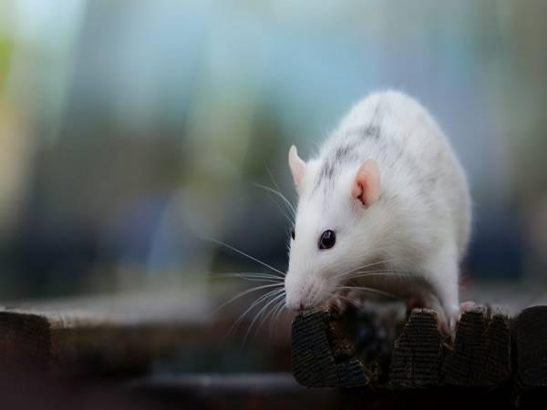 Chuột kêu điềm gì? Đánh con gì nếu thấy chuột kêu